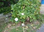 hortensias en fleurs ... à Noël